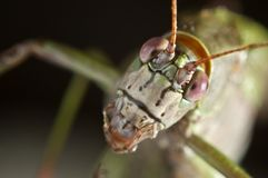 Macro grasshopper. Eyes. Head. Stock Images