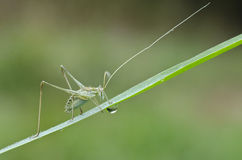 Macro of grasshopper. On a grass Stock Photography