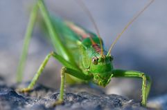 Macro of Grasshopper. Macrophotography of Green Grasshopper on the stone Stock Photo