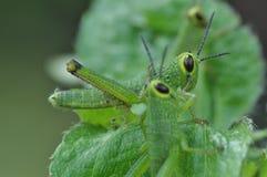 Macro Grasshopper Royalty Free Stock Image