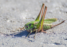 Macro of a grasshopper Royalty Free Stock Image