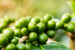 Macro of green arabica coffee berries. On foreground with sunlight growing on its tree at coffee tree plantation Royalty Free Stock Photography