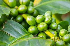 Macro of green arabica coffee berries. Growing on its tree at coffee tree plantation Royalty Free Stock Photo