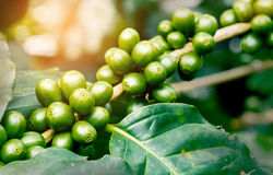 Macro of green arabica coffee berries. With sunlight growing on its tree taken from coffee tree plantation Royalty Free Stock Images