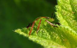 Macro green beetle Stock Photography