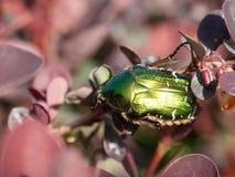 Macro of green beetle Stock Photography