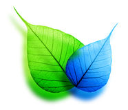 Macro green and blue leaf royalty free stock photography