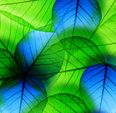 Macro green and blue leaf Stock Photo