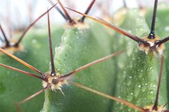 Macro of green cactus Royalty Free Stock Images