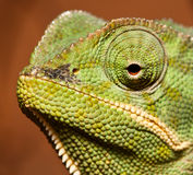 Macro of green cameleon Royalty Free Stock Photography