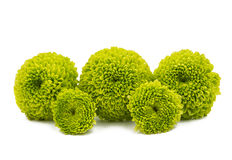Macro of a green chrysanthemum isolated Stock Image