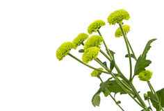 Macro of a green chrysanthemum isolated Royalty Free Stock Images