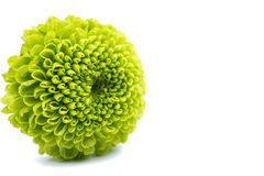 Macro of a green chrysanthemum isolated Stock Photo