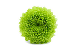 Macro of a green chrysanthemum isolated Royalty Free Stock Image