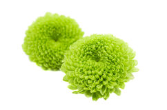 Macro of a green chrysanthemum isolated Royalty Free Stock Photography