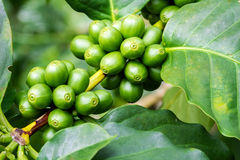 Macro of green coffee berries. Macro of green arabica coffee berries growing on its tree at coffee tree plantation Royalty Free Stock Images