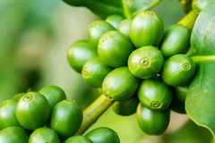 Macro of green coffee berries Royalty Free Stock Images