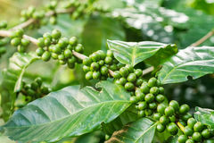 Macro of green coffee berries Royalty Free Stock Photography