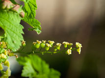 Macro of green currant twig Stock Images