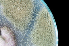 Macro of green fungi on petri dish Stock Photos