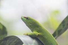 Madagascar day gecko. Macro of this green gecko Royalty Free Stock Image