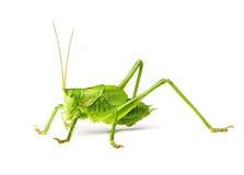 Free Macro Green Grasshopper Stock Photo - 56630800