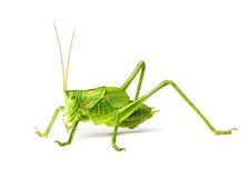 Macro green grasshopper Stock Photo