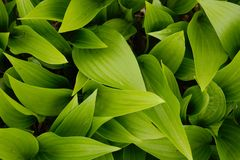 A macro of green Hosta leaves in the garden. Walpaper Royalty Free Stock Photography