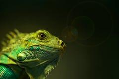 Macro of green iguana Stock Photos