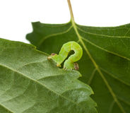 Macro of green inchworm on birch leaf. Small codling moth caterpillar on leaf isolated on white Royalty Free Stock Photography