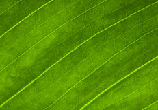 Macro of green leaf Royalty Free Stock Photography