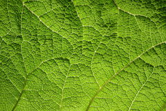 Macro of green leaf. In the garden Stock Images