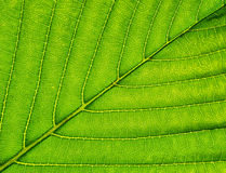 Macro of green leaf. Royalty Free Stock Photos