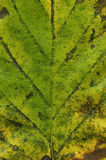 Macro green leaf Stock Photography