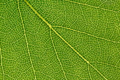 Macro green leaf. Macro view of green leaf background Royalty Free Stock Photos