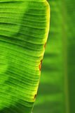 Macro green leaf background. Macro abstract background of surface of green leaf with copy space Stock Photos