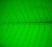 Macro of Green leaf Royalty Free Stock Photo