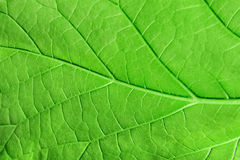 Macro green leaf Royalty Free Stock Photography
