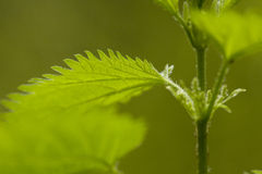 Macro Green Leaf with Jagged Edge Royalty Free Stock Photos