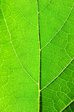 Macro green leaf - life flow. Macro view of an green leaf against sunlight royalty free stock images