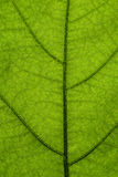 MAcro green leaf - structure, environment or network concept Royalty Free Stock Photos