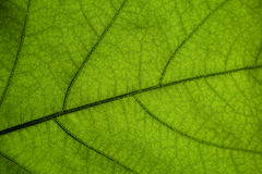 MAcro green leaf - structure, environment or network concept Royalty Free Stock Images