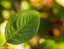 Macro green leaf on summer background Stock Photos