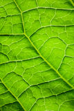 Macro of green leaf surface Stock Photos
