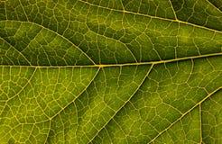 Macro of green leaf stock image