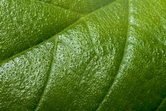 Macro of green leaves. Macro of green leaves to rough for background stock photos
