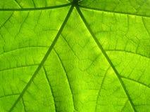 Macro green maple leaf (2) Stock Photos