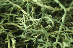 Macro Green Moss. Close-up of green moss Royalty Free Stock Image