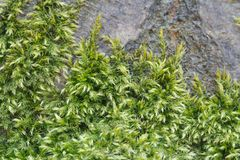 Macro green moss on an old tree bark background Royalty Free Stock Photo