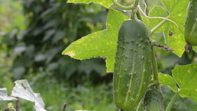 Macro green natural cucumber vegetable move wind garden stock video footage